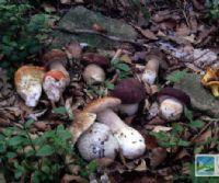 Locandina: Al via il corso per il riconoscimento dei funghi