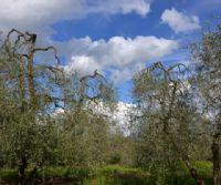 Locandina: Corso teorico-pratico sulla cura degli olivi