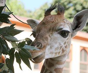 Locandina evento: Sua Altezza la Giraffa al Bioparco