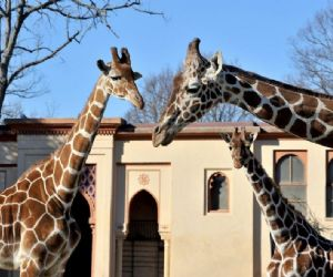 Febbraio giraffoso al Bioparco