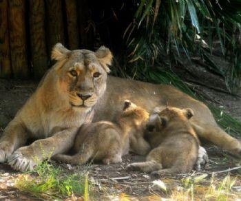 Bambini - Evento storico al Bioparco: sono nate due femmine di leone asiatico