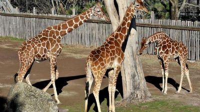 Bambini e famiglie - Giraffa, un animale da record!