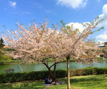 Visite guidate - Hanami al Giardino delle cascate dell'Eur: la fioritura dei ciliegi