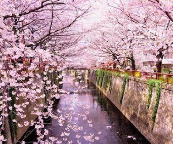 Visite guidate - Hanami, la festa dei ciliegi in fiore