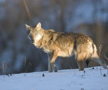 Altri eventi: Il lupo nel territorio della città metropolitana di Roma Capitale