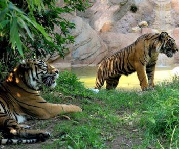 Bambini - Insieme per salvare le tigri