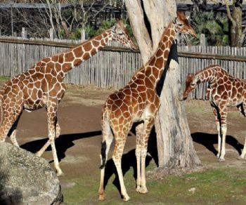 Bambini - Giraffa, un animale da record!