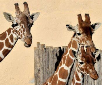 Bambini - La giraffa in numeri