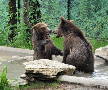 Una fine settimana con due cuccioli di orso bruno