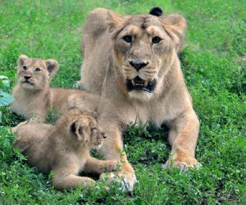 Bambini - Le due leoncine del Bioparco si chiamano Aasha e Naisha